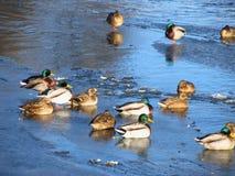Canards en hiver Photographie stock libre de droits