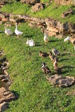 Canards en parc Photo libre de droits