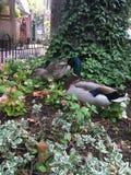 Canards en parc Photo libre de droits