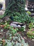 Canards en parc Photographie stock