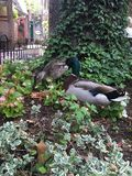 Canards en parc Images stock
