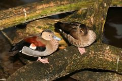 Canards en parc Image stock