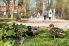 Canards en parc Photo stock