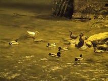 Canards en rivière la nuit Image stock