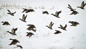 Canards en vol image libre de droits