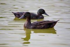 Canards est des Indes Photographie stock