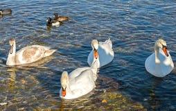 Canards et cygnes Photographie stock libre de droits