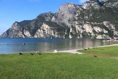 Canards et cygnes de nettoyage de matin sur l'au bord du lac Photographie stock libre de droits