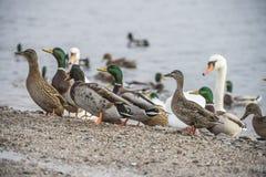 Canards et cygnes en rivière Photographie stock libre de droits