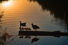 Canards et leurs canards de bébé dans le coucher du soleil dans Vlissingen, Nederland Image stock