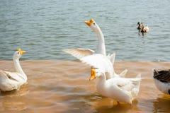 Canards et oie dans le lac Image stock