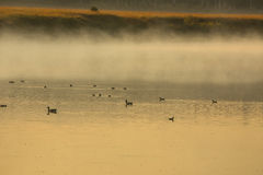 Canards et oies dans la lumière d'or, parc national de Teton, Wyoming Images stock