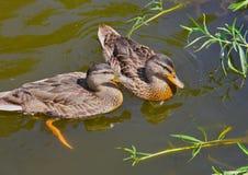 Canards femelles Image libre de droits