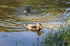 Canards femelles de canard avec le plumage brun photos libres de droits