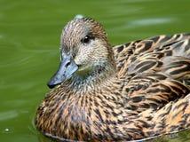 Canards femelles de Falcated Image stock