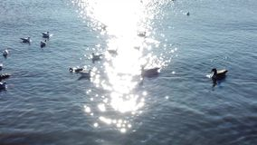 Canards flottant autour de la réflexion de sun dans le mouvement lent banque de vidéos