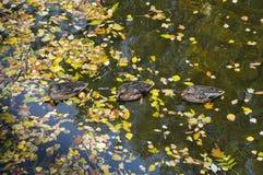 Canards flottant parmi les feuilles dans l'étang Photographie stock