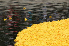 Canards jaunes Photos libres de droits