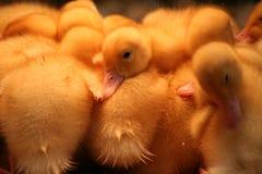 Canards jaunes Images libres de droits