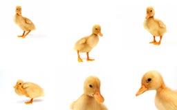 Canards jaunes mignons Image stock