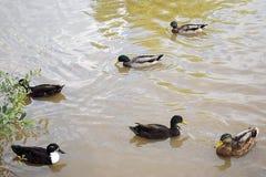 Canards jouant dans un étang Images stock