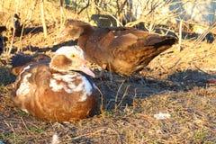 Canards marchant dans le sauvage Photo libre de droits