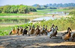 Canards marchant sur la route rurale Photographie stock libre de droits