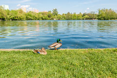 canards mignons Image stock