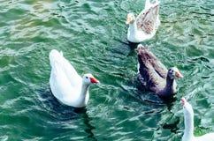Canards mignons appréciant l'été sur le lac photos libres de droits