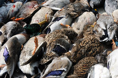 canards morts Image libre de droits