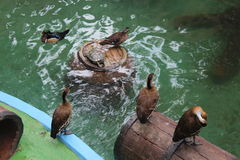Canards nageant image libre de droits