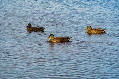Canards nageant Photographie stock