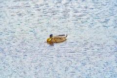 Canards nageant Photo stock