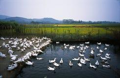 Canards nageant dans l'étang images stock