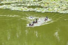 Canards nageant dans l'étang Photographie stock libre de droits