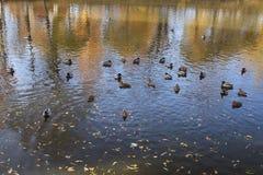 Canards nageant dans l'eau Images stock