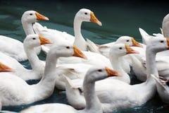 Canards nageant dans l'eau images libres de droits