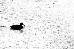 Canards nageant dans le fleuve Photo libre de droits