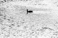 Canards nageant dans le fleuve Photos stock