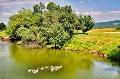 Canards nageant dans le lac Image libre de droits