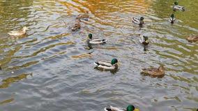 Canards nageant dans le lac de parc de ville banque de vidéos