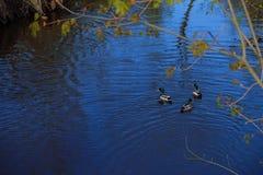 Canards nageant dans le village Russie de rivière Image stock