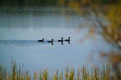Canards nageant dans un étang de l'Arkansas Photographie stock libre de droits