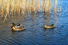 Canards nageant dans un lac Photos stock
