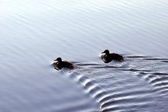 Canards nageant en mer calme Photos stock