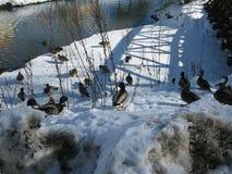 Canards nageant en rivière Photographie stock