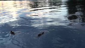 Canards nageant en rivière 4K banque de vidéos