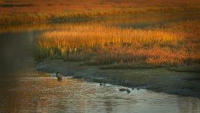 Canards nageant en roseaux de lagune clips vidéos
