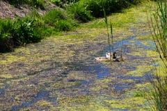 Canards nageant parmi des usines de marais Image stock