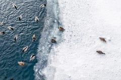 Canards nageant sur l'étang d'hiver Images libres de droits